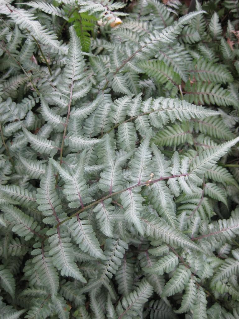 Athyrium niponicum 'Silver Falls' (2013)c
