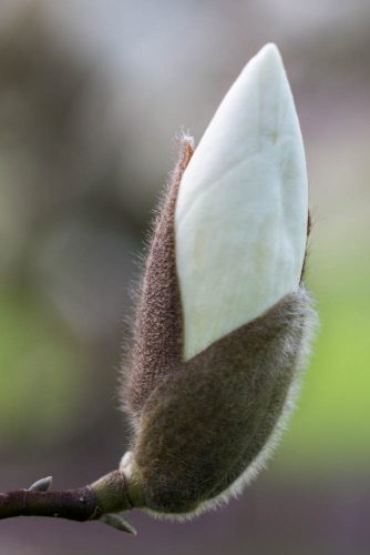 Magnolia-Manchu-Fan-M.-x-soul.-Lennei-Alba-x-M.-x-veitchii-domein-Wespelaar-foto-lage-resolutie-Lizzy-Heylen