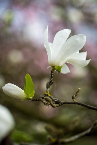 Magnolia-x-loebneri-Merrill-domein-Wespelaar-foto-lage-resolutie-Lizzy-Heylen