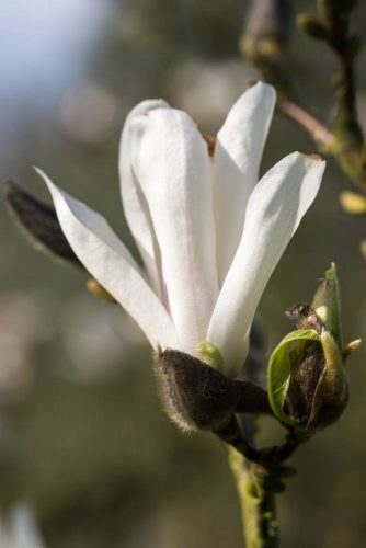 Magnolia-x-soulangiana-Speciosa-domein-Wespelaar-foto-lage-resolutie-Lizzy-Heylen